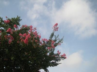 IMG_1325サルスベリの花.jpg